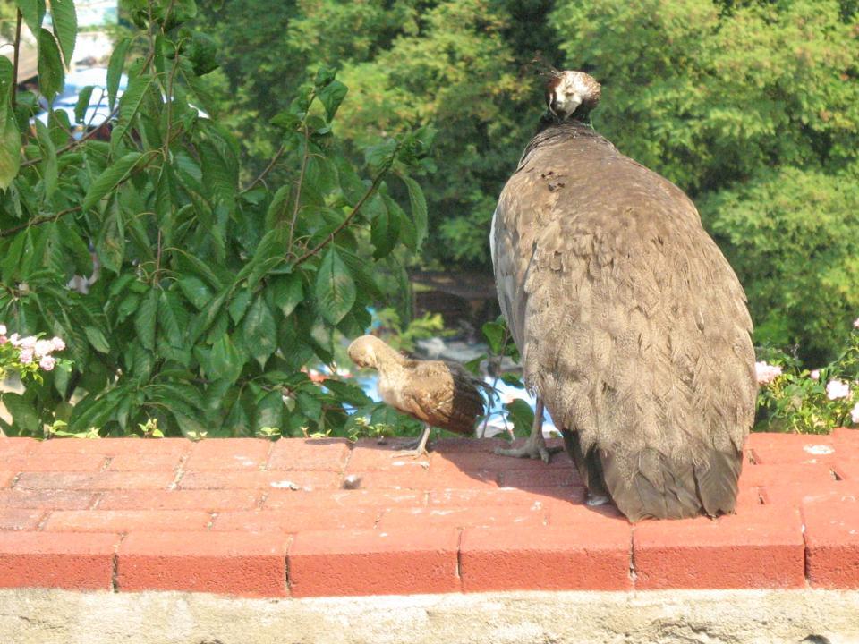 Een moeder pauw en haar kind