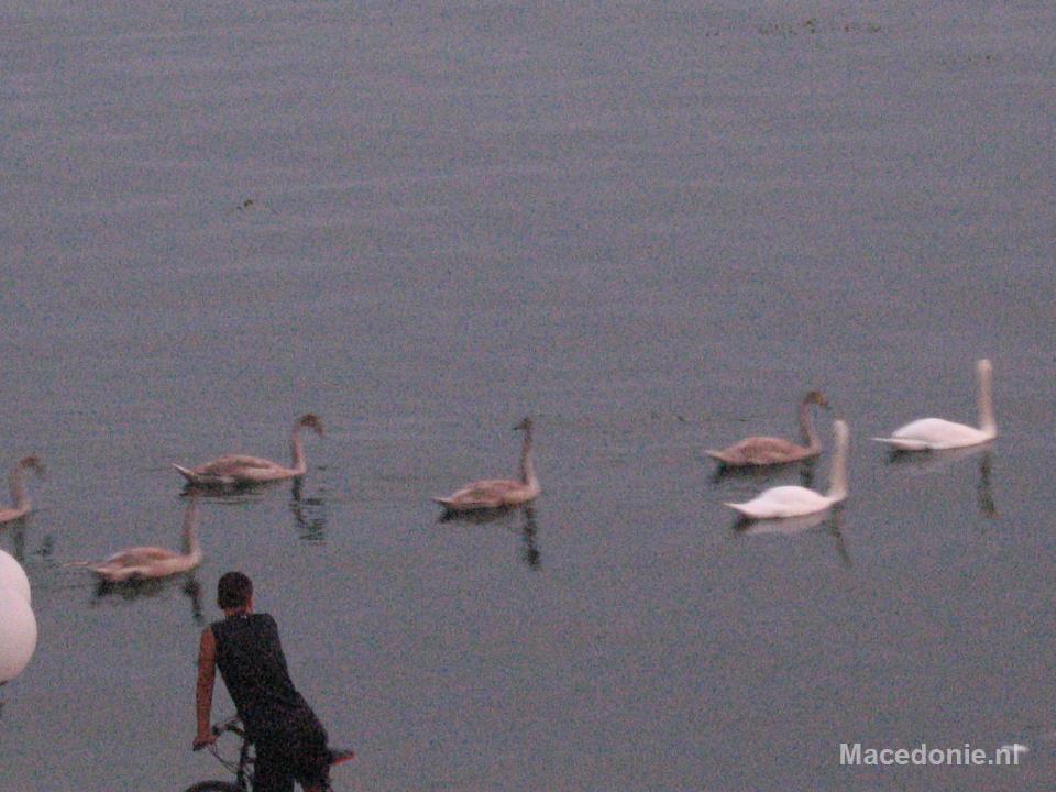 Zwanen trekken het meer op